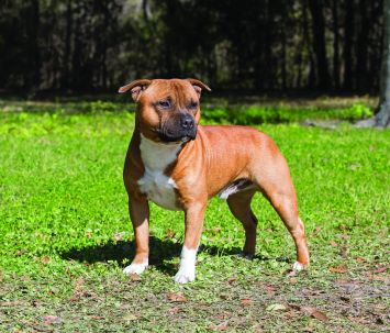 Staffordshire Bull Terrier Dog Breed Profile | Petfinder