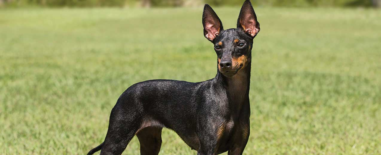 Toy Manchester Terrier Dog Breed Profile Petfinder