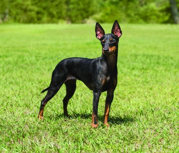 miniature manchester terrier toy manchester terrier dog breed profile petfinder 8917