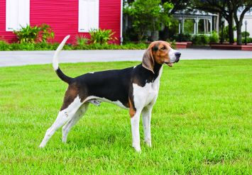 Treeing Walker Coonhound Dog Breed Profile | Petfinder