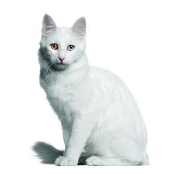 96efc60a7d Turkish Angora Cat Breed Profile