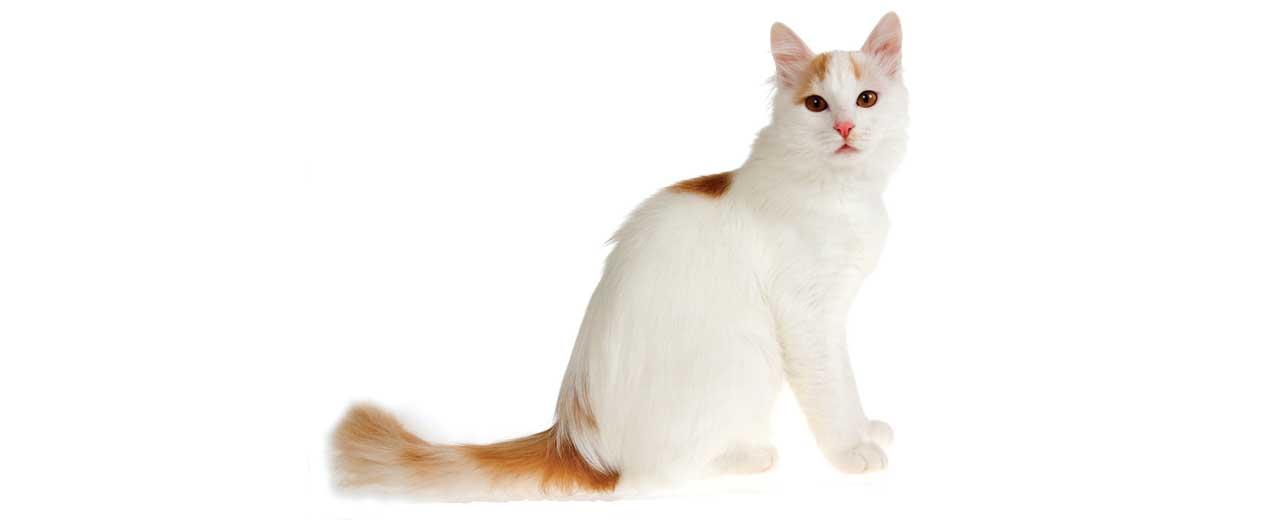 Turkish Van Cat Breed Profile   Petfinder