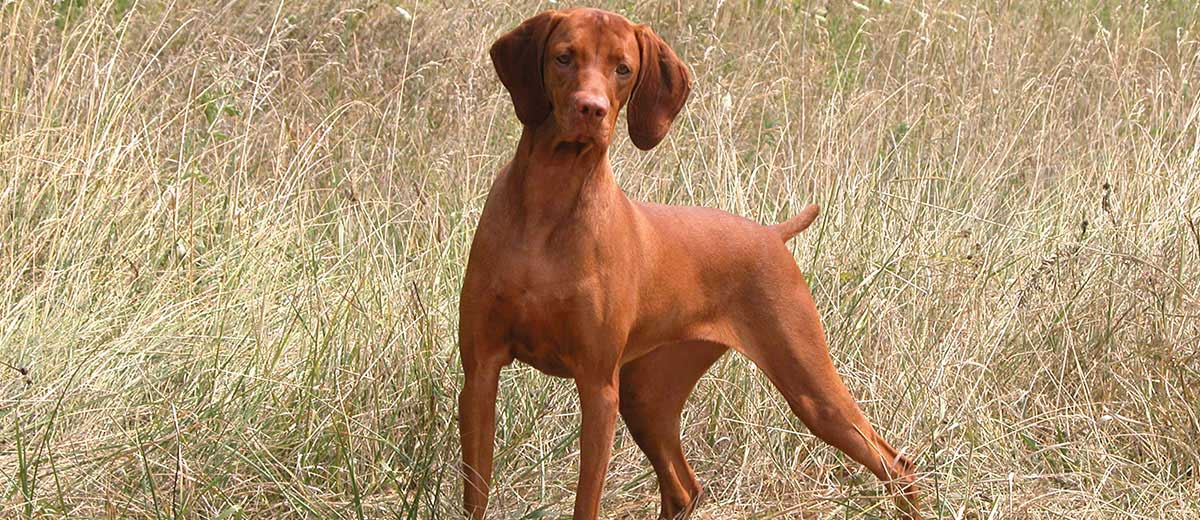 Short Haired Dogs Best Breeds And Grooming Needs Petfinder