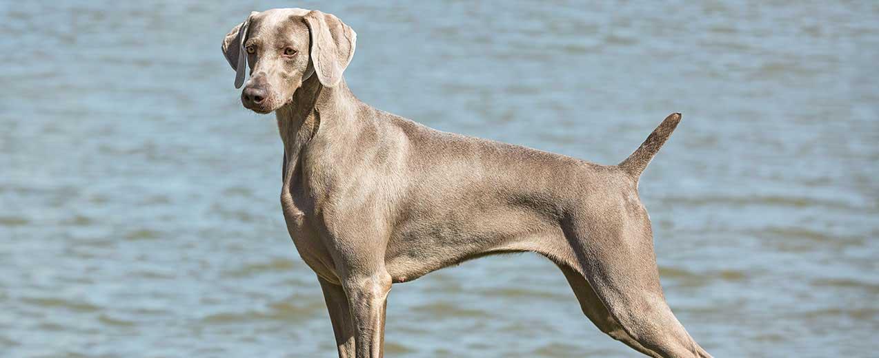 Weimaraner Dog Breed Profile | Petfinder