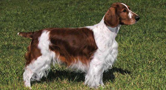 English Springer Spaniel Dog Breed Profile | Petfinder