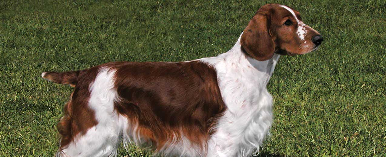 Welsh Springer Spaniel Dog Breed Profile | Petfinder