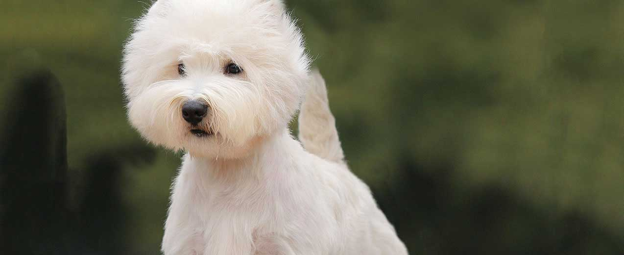 West Highland White Terrier / Westie Dog Breed Profile