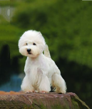 West Highland White Terrier / Westie Dog Breed Profile | Petfinder