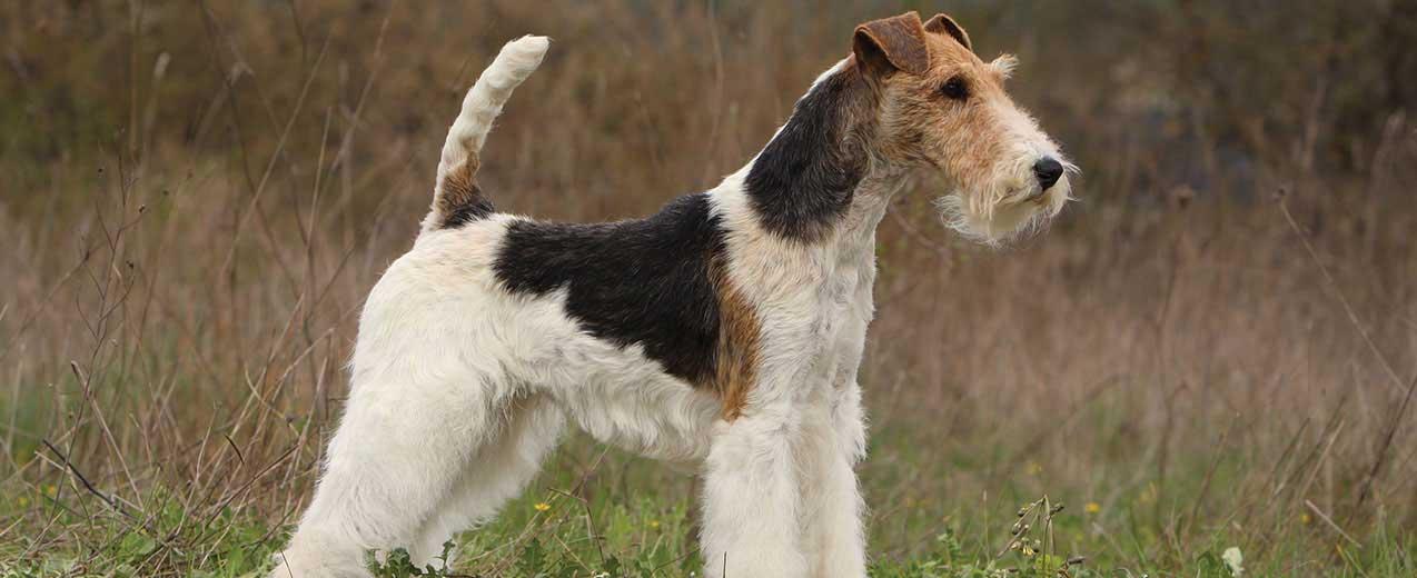 Wire Fox Terrier Dog Breed Profile Petfinder