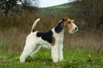Wire Fox Terrier Dog Breed Profile | Petfinder