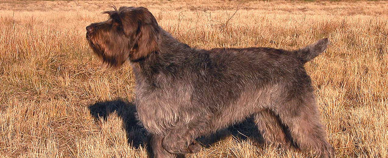 Wirehaired Pointing Griffon Dog Breed Profile Petfinder