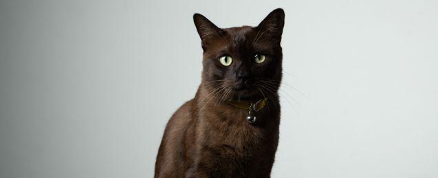 York Chocolate Cat Breed Profile | Petfinder