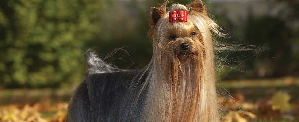 Yorkshire Terrier Dog Breed Profile | Petfinder