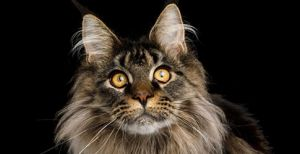 Maine Coon Cat Breed Profile | Petfinder