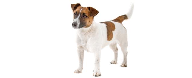 Jack Russell Terrier Dog Breed Profile Petfinder