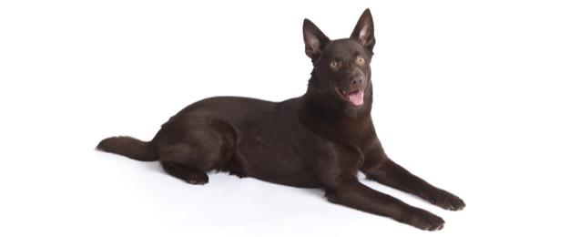 Australian Kelpie Dog Breed Profile Petfinder