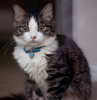 Maine Coon Kitten with blue collar and tag staring at the camera