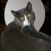 Gray cat relaxing