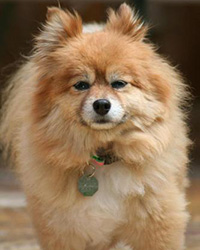 Tan Pomeranian looks at the camera