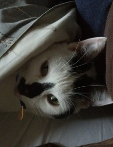 cat hiding under a blanket