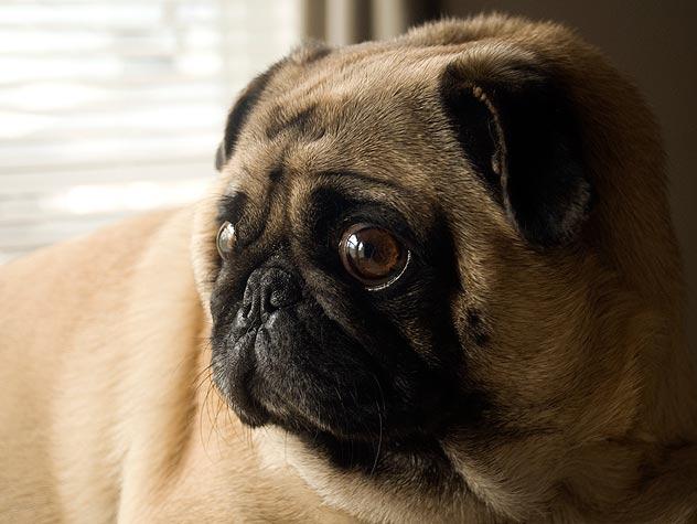 blind pug