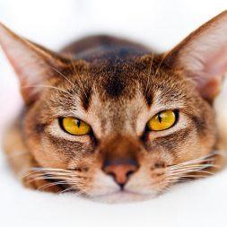 Panleukopenia Fact Sheet for Cat Parents