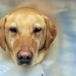 Canine Self-Mutilating Behavior