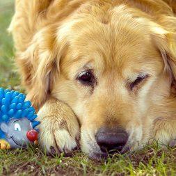 Dog Breeds at Risk for Mast Cell Tumors