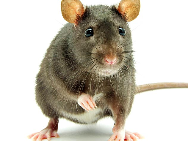 rat white background