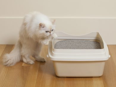 white cat looking into litter box