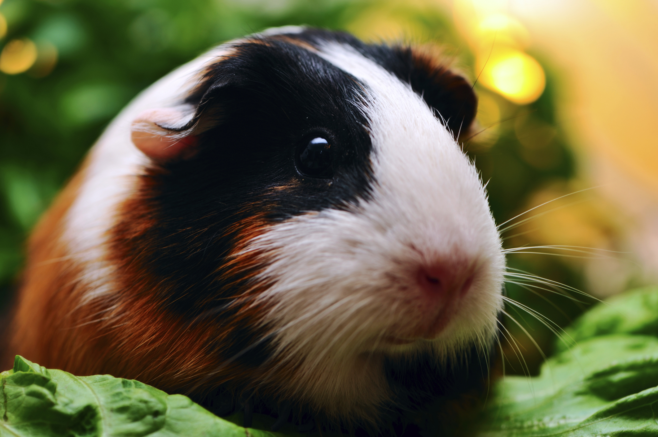How many guinea pigs live at home and how to extend their life