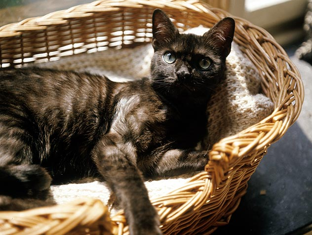 cat laying in basket bed