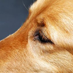 Cherry Eye in Dogs: Introduction