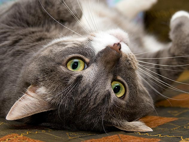 Symptoms and Diagnosis of Feline Intestinal Lymphoma