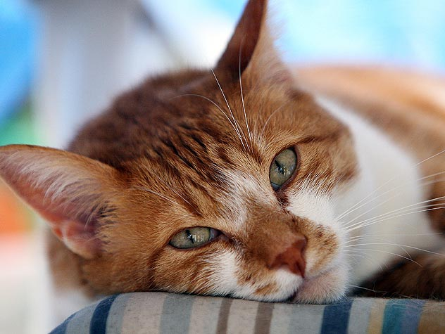 Upper Respiratory Infections in Cats