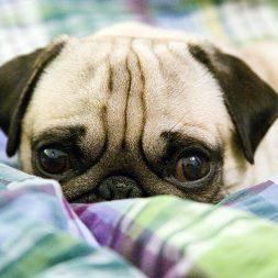 peekaboo pug puppy