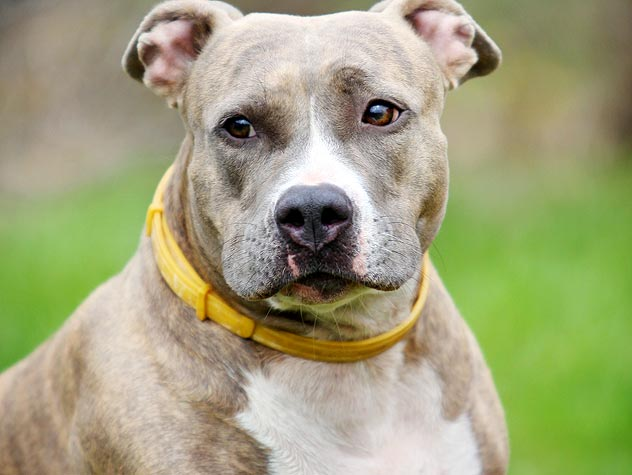 pit bull with yellow collar