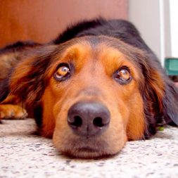 Preventing Yeast Infections in a Dog's Ears