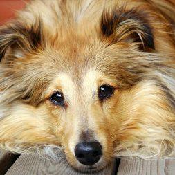 brown dog lying down