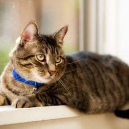 Feline Stomatitis: Introduction