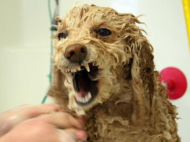angry wet dog in bath