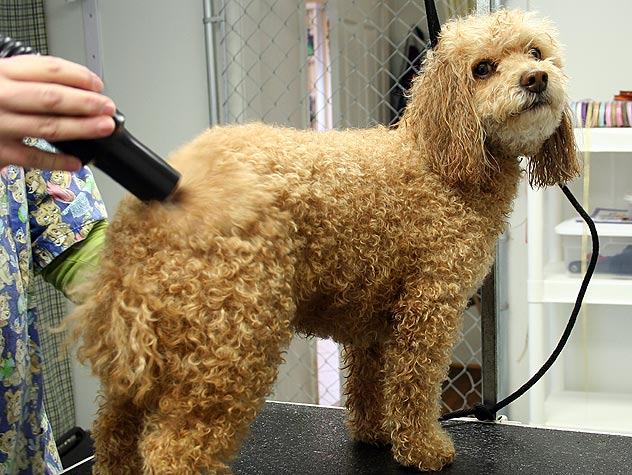 a poodle getting groomed
