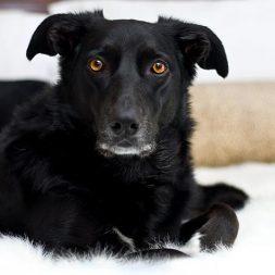 black dog lying on a white rug