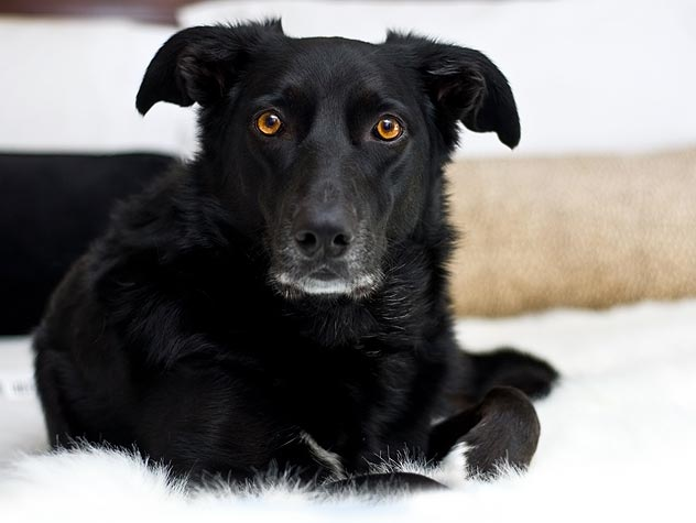 black dog lying on a white rug
