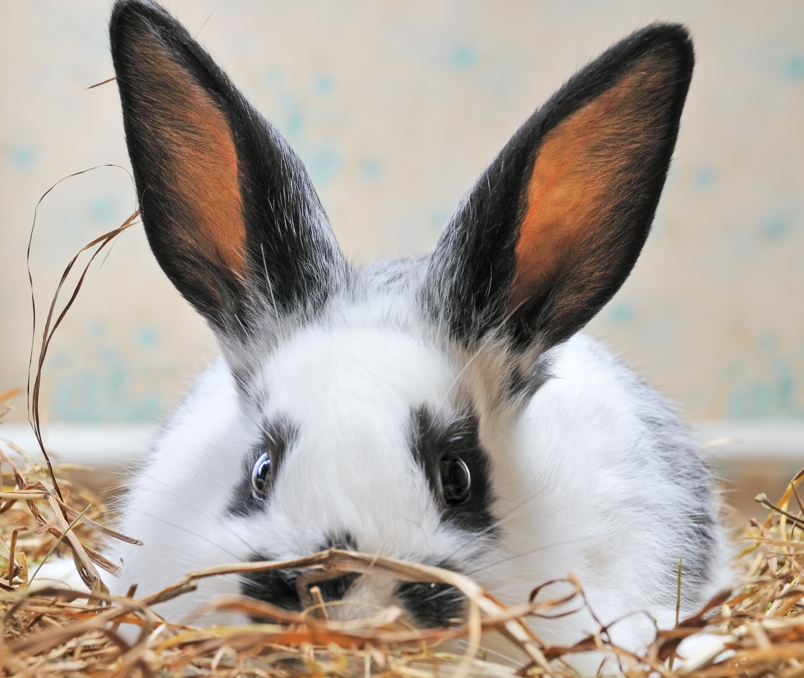 large eared black and white rabbit
