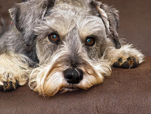 Diagnosing Cognitive Dysfunction Syndrome in Pets