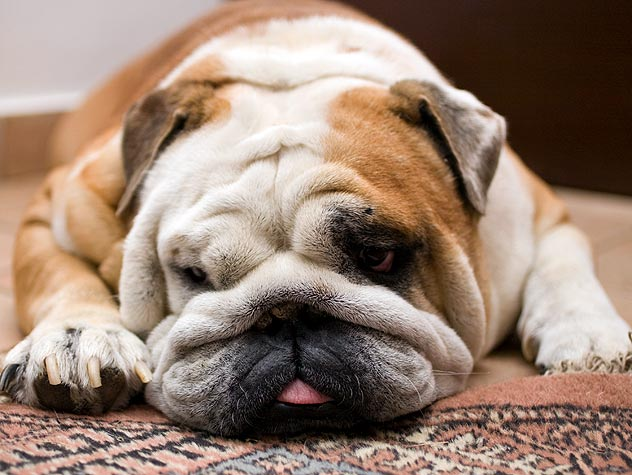 overweight bulldog