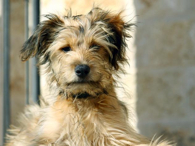 schnauzer terrier mix dog