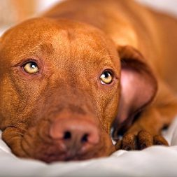 Canine Diabetes: Introduction