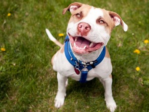 Five Questions To Ask Before Adopting A Pit Bull Petfinder